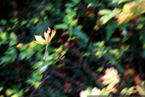 falling leaf    MG 8541
