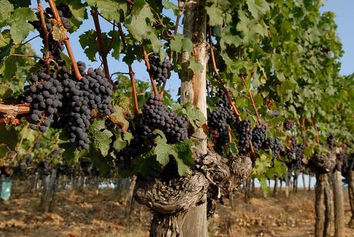 Grappes de raisins et ceps de vigne - Madiran - Aquitaine