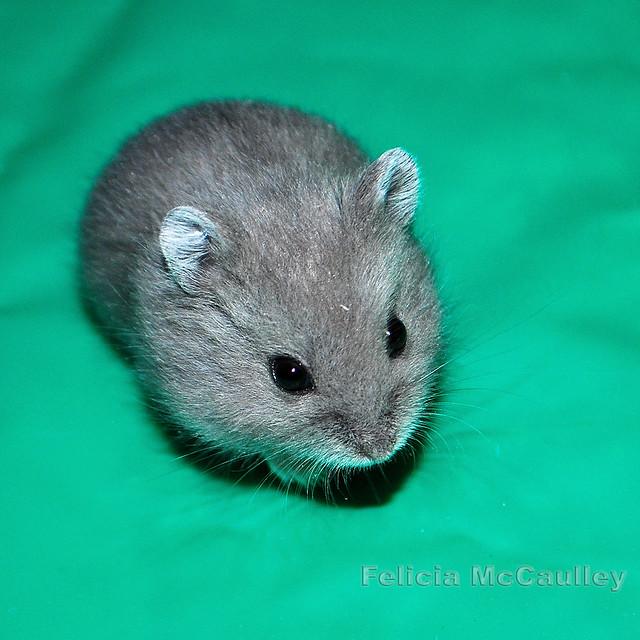 Blue Campbell's Dwarf Hamster | Flickr - Photo Sharing!  Blue Campbell&#...