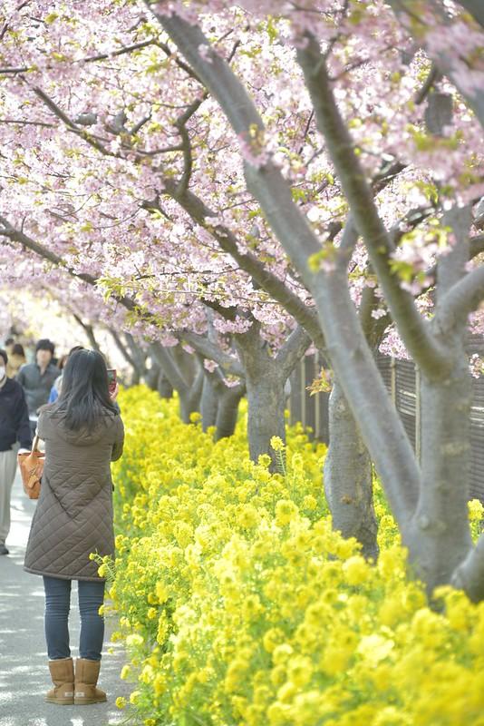 三浦海岸 河津桜