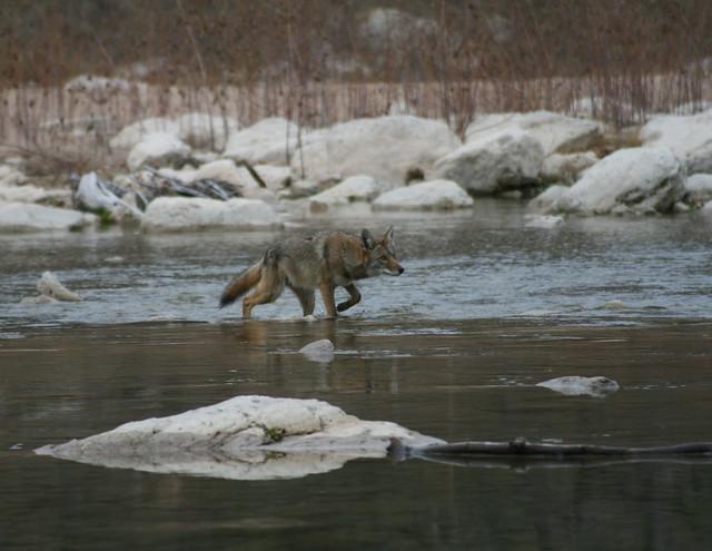 coyote crossing the pedernales