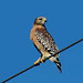 Red-shouldered Hawk - Photo (c) Bob, some rights reserved (CC BY-NC-ND)