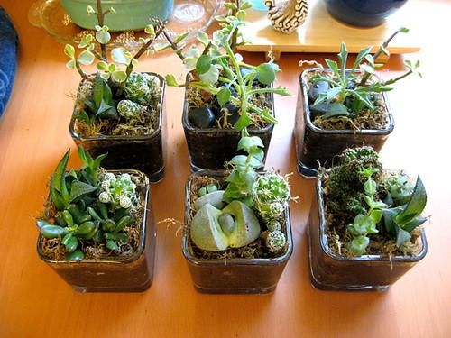 Mini Succulent Gardens Flickr Photo Sharing