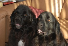 dog breed, animal, dog, hovawart, pet, newfoundland, flat-coated retriever, carnivoran,