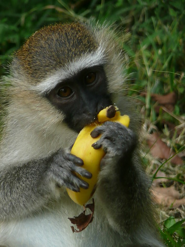 Monkey with his banana