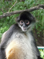 tufted capuchin(0.0), squirrel monkey(0.0), capuchin monkey(0.0), langur(0.0), white-headed capuchin(0.0), macaque(0.0), animal(1.0), monkey(1.0), mammal(1.0), fauna(1.0), spider monkey(1.0), old world monkey(1.0), new world monkey(1.0), wildlife(1.0),