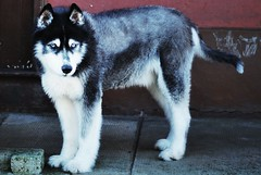 dog breed, animal, lapponian herder, dog, siberian husky, pet, karelian bear dog, east siberian laika, greenland dog, saarloos wolfdog, alaskan malamute, sled dog, carnivoran,