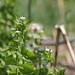 Small photo of INVASIVE: Alliaria petiolata (Garlic mustard)