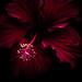 Hibiscus by -Bennie-