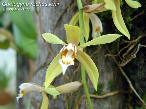 Orquidea Coelogyne Rochussenii Coelogyne Rochussenii 2