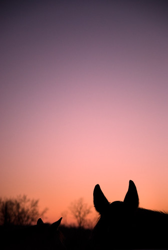 horses animals dusk silhouettes sunsets ears ponies newyorkstate bb bedandbreakfast horsies hudsonvalley horsefarm rhinebeckny silhoutted whistlewood
