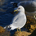 Mew Gull - Photo (c) Blake Matheson, some rights reserved (CC BY-NC)