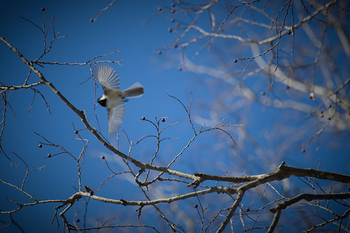 above winter sky tree bird nature wisconsin spread fly flying amazing wings midwest dof action wildlife branches flight january depthoffield madison chickadee 2009 400mm cherokeemarsh canoneos5d canonef100400mmf4556lisusm portalwisconsinorgselected lorenzemlicka portalwisconsinorg020309