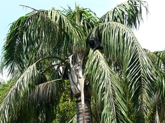 arecales, tropics, palm family, branch, leaf, tree, flora, elaeis,