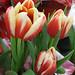 Tulipa liniifolia
