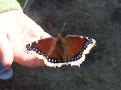 Butterfly play w 5 Year Old - Mourning Cloak