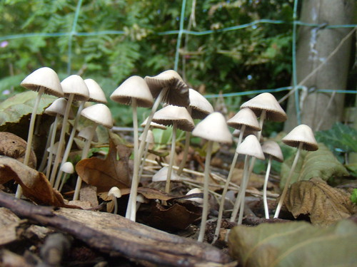 Trooping fungi