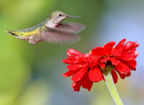 Anna's Hummingbird and Zinnia