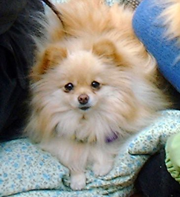 fluffy miniature dogs - photo #22