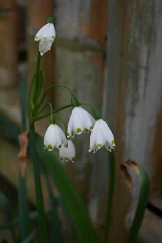 SpringSnowflakes