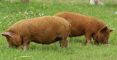 cattle-like mammal(0.0), bison(0.0), animal(1.0), prairie(1.0), grass(1.0), domestic pig(1.0), pig(1.0), grazing(1.0), fauna(1.0), meadow(1.0), pig-like mammal(1.0), pasture(1.0), grassland(1.0),