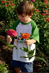 sequoia picking zinnia for his mom    MG 0440