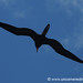 Frigate Bird Silhouette - Galapagos Islands