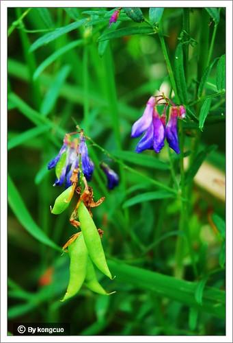 内蒙古植物照片-豆科野豌豆属