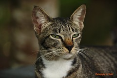 animal, tabby cat, small to medium-sized cats, mammal, fauna, close-up, cat, rusty-spotted cat, wild cat, whiskers, domestic short-haired cat,