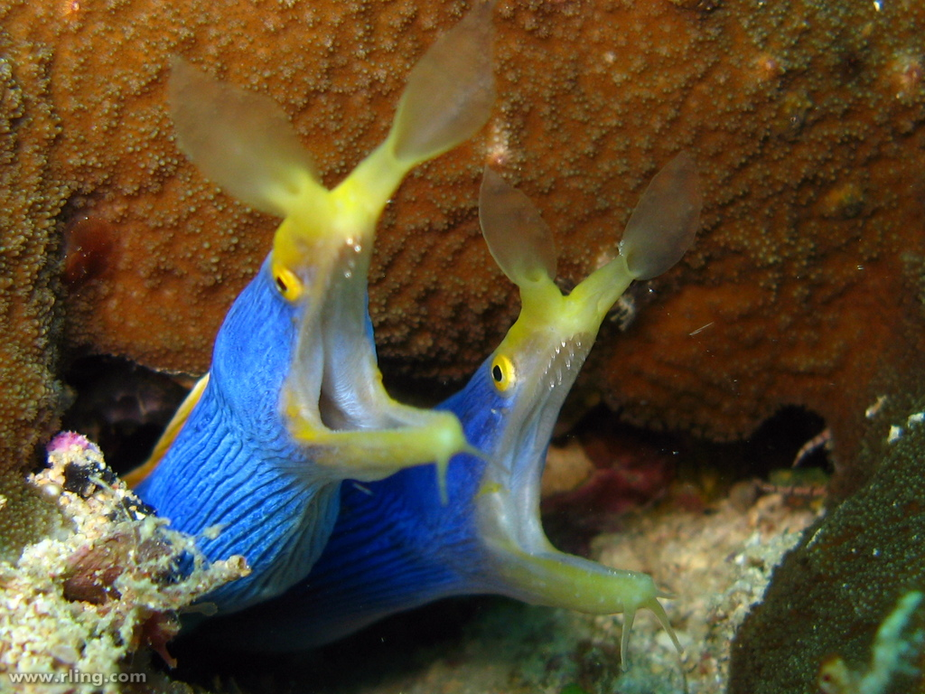 Ribbon moray eel - photo#23