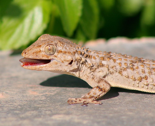 Say Ah! Moorish Gecko; Mgarr, Gozo | by foxypar4