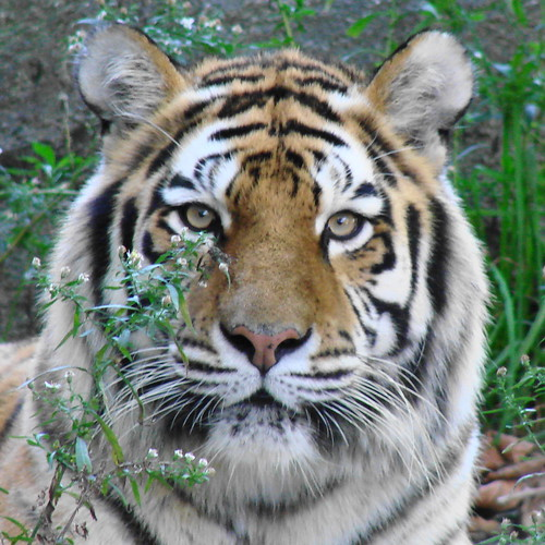 Amur Tiger named Dasha