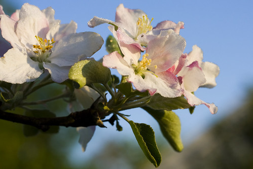 morning apple sunrise blossom dew natureselegantshots ghholt
