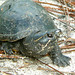 Striped Mud Turtle - Photo (c) tom spinker, some rights reserved (CC BY-NC-ND)