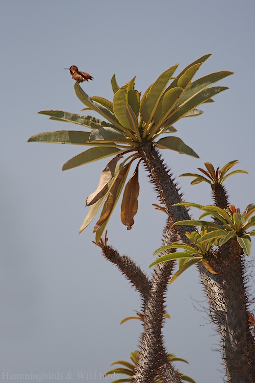 Allen's Hummingbird01091-7