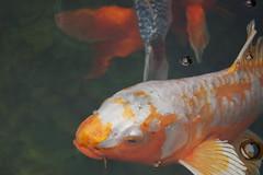 fish, fish, marine biology, koi, goldfish,