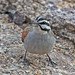 Buntings, American Sparrows, and Allies - Photo (c) Jerry Oldenettel, some rights reserved (CC BY-NC-SA)