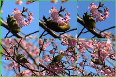 Japanese White-eye / Zosterops japonicus / 目白(メジロ)