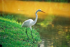 wetland(1.0), animal(1.0), fauna(1.0), reflection(1.0), great egret(1.0), heron(1.0), beak(1.0), crane-like bird(1.0), crane(1.0), bird(1.0), wildlife(1.0),