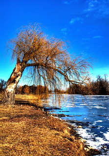 Old Willow in Winter - Belle Isle, Detroit