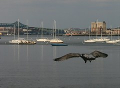 Sea gull & Mystic Tobin bridge