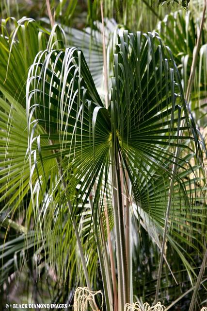 Livistona australis - Cabbage Palm