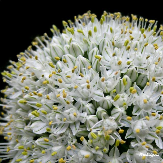 onion flower fleur d 39 oignon allium cepa l alliaceae flickr photo sharing. Black Bedroom Furniture Sets. Home Design Ideas