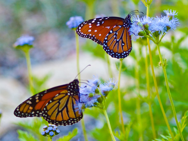 Queen Butterfly Vs Mon...