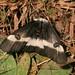 Buck Moth - Photo (c) John Brandauer, some rights reserved (CC BY-NC-ND)