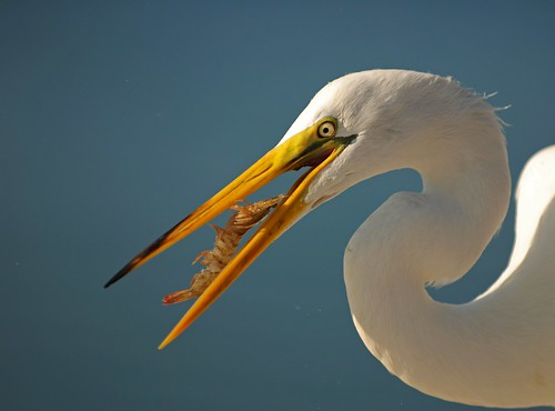 sky food white detail bird eye nature water animal closeup outside outdoors colorful looking natural feeding florida eating wildlife watching beak feathers shrimp baitshop sarasota egret bait avian greategret plumage ardeaalba sarasotabay wadingbirds ineedajob hartslanding sraing freshwaterbird michaelskelton michaeldskelton michaeldskeltonphotography