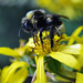 Bumble Bee in Alaska