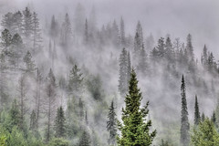 larch, fog, tree, forest, natural environment, wilderness, temperate coniferous forest, mist, fir, spruce,