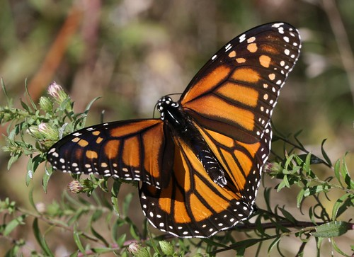 female Monarch (Danaus plexippus)