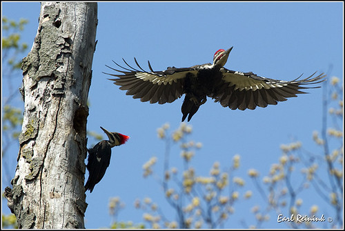 Woodpecker (Pileated) - 0123
